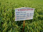 Farmer experiment with SRI spacing near Pyongyang